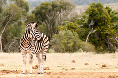 Zebra looking over his shoulder Stock Photos