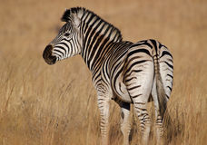 Zebra looking over shoulder Royalty Free Stock Image