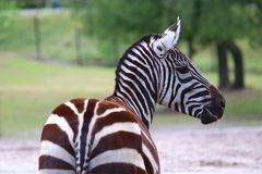 Zebra looking right Stock Photography
