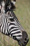 Zebra looking smart Stock Photography