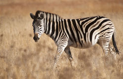 Zebra looking at you Royalty Free Stock Photos