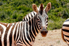 Zebra looking at you. Zebra looking at what you are doing Stock Image