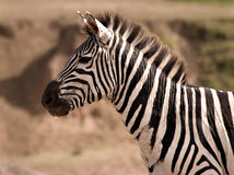 Zebra on lookout Royalty Free Stock Photography