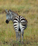 Zebra looks back Royalty Free Stock Photos