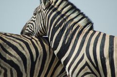 Zebra love #2 Royalty Free Stock Photo