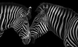 Zebra love. Two zebra heads facing nudging on a black background Royalty Free Stock Image