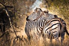 Zebra in love Stock Photography
