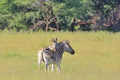 Zebra Love - Wildlife Background from Africa - Striped Emotion Stock Image