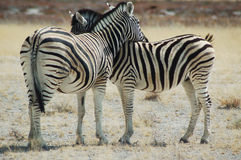 Zebra lovers #1. Zebras in Etosha, Namibie Royalty Free Stock Image