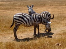 Zebra Lovers Royalty Free Stock Photo