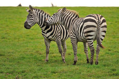 Zebra Lovers Royalty Free Stock Image