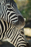 Zebra lovers #3. Zebras in Etosha, Namibie Royalty Free Stock Images