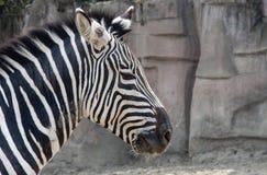 Zebra lunch break. Spring noon zebra and humans same like dozing Stock Image