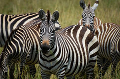 Zebra lunch Royalty Free Stock Images
