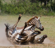 Zebra lying a dust. Kenya. Tanzania. National Park. Serengeti. Maasai Mara. Stock Photos