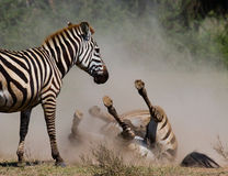 Zebra lying a dust. Kenya. Tanzania. National Park. Serengeti. Maasai Mara. Royalty Free Stock Photography