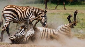 Zebra lying a dust. Kenya. Tanzania. National Park. Serengeti. Maasai Mara. Royalty Free Stock Images