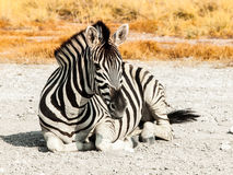 Zebra lying on a dusty ground in the middle of savanna, Etosha National Park, Namibia, Africa Royalty Free Stock Photos