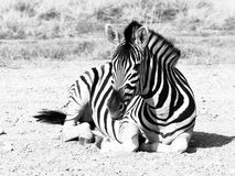 Zebra lying on a dusty ground in the middle of savanna, Etosha National Park, Namibia, Africa Royalty Free Stock Photo