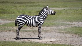 Zebra lying on the dusty ground then gets up and starts to laugh. Zebra lies on the dusty ground, then gets up and starts nodding his head and neighing or laugh stock video footage