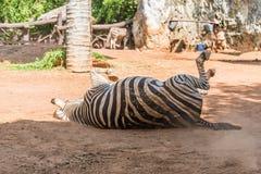 Zebra is lying on the ground Stock Photos