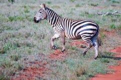 Zebra lying in the savanna Stock Photo