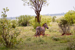 Zebra lying in the savanna Royalty Free Stock Images