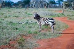 Zebra lying in the savanna. Of Tsavo West Park in Kenya Royalty Free Stock Images