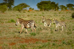 Zebra lying in the savanna Stock Photography
