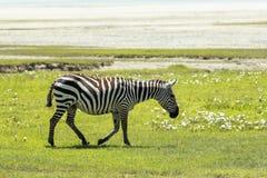 Zebra in Maasai Mara, Kenia Royalty-vrije Stock Afbeeldingen