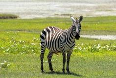 Zebra in Maasai Mara, Kenia Stock Afbeeldingen