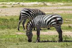 Zebra in Maasai Mara, Kenya. This photo is taken in Maasai Mara National Reserve, Kenya. The Maasai Mara National Reserve also known as Maasai Mara and by the Royalty Free Stock Photo