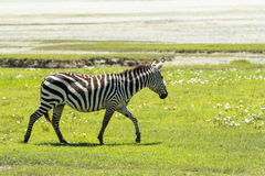 Zebra in Maasai Mara, Kenya. This photo is taken in Maasai Mara National Reserve, Kenya. The Maasai Mara National Reserve also known as Maasai Mara and by the Royalty Free Stock Photography