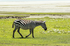 Zebra in Maasai Mara, Kenya. This photo is taken in Maasai Mara National Reserve, Kenya. The Maasai Mara National Reserve also known as Maasai Mara and by the Royalty Free Stock Images