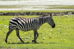 Zebra in Maasai Mara, Kenya. This photo is taken in Maasai Mara National Reserve, Kenya. The Maasai Mara National Reserve also known as Maasai Mara and by the Royalty Free Stock Photos
