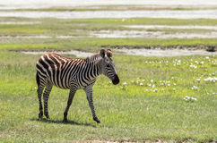 Zebra in Maasai Mara, Kenya. This photo is taken in Maasai Mara National Reserve, Kenya. The Maasai Mara National Reserve also known as Maasai Mara and by the Stock Photography