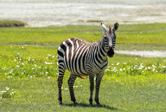 Zebra in Maasai Mara, Kenya. This photo is taken in Maasai Mara National Reserve, Kenya. The Maasai Mara National Reserve also known as Maasai Mara and by the Stock Images