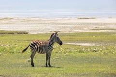 Zebra in Maasai Mara, Kenya Royalty Free Stock Photos