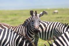 Zebra in Maasai Mara, Kenya Royalty Free Stock Photography
