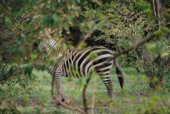 Zebra in Maasai Mara National Reserve , Kenya royalty free stock photography