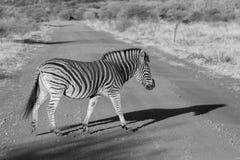 Zebra, Madikwe Game Reserve Royalty Free Stock Photography
