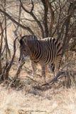 Zebra, Madikwe Game Reserve Stock Image