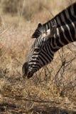 Zebra, Madikwe Game Reserve Royalty Free Stock Photo