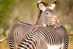 Zebra making a funny face Royalty Free Stock Photography