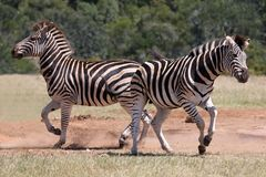 Zebra Males Stock Photography