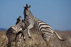 Zebra males fighting Stock Photo