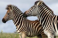 Zebra-Mamma und Fohlen stockbild