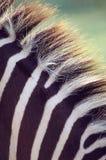 Zebra mane close-up. A Zebra mane close-up with detail of the hais Royalty Free Stock Images