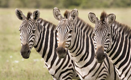 Zebra in Mara Royalty Free Stock Photography