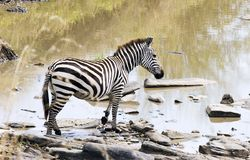 Zebra on the Mara River. A zebra appears to be preparing to enter the Mara River Stock Photos